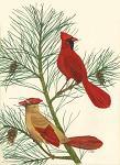 Beautiful Cardinal Wildlife Art