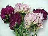 Dried Peony Flowers From Woodcreek Drieds