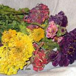 Colorful Dried Zinnias