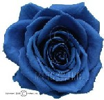 Colorful Blue Preserved Rose
