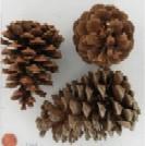 Pine Cones Sourcing Northwest