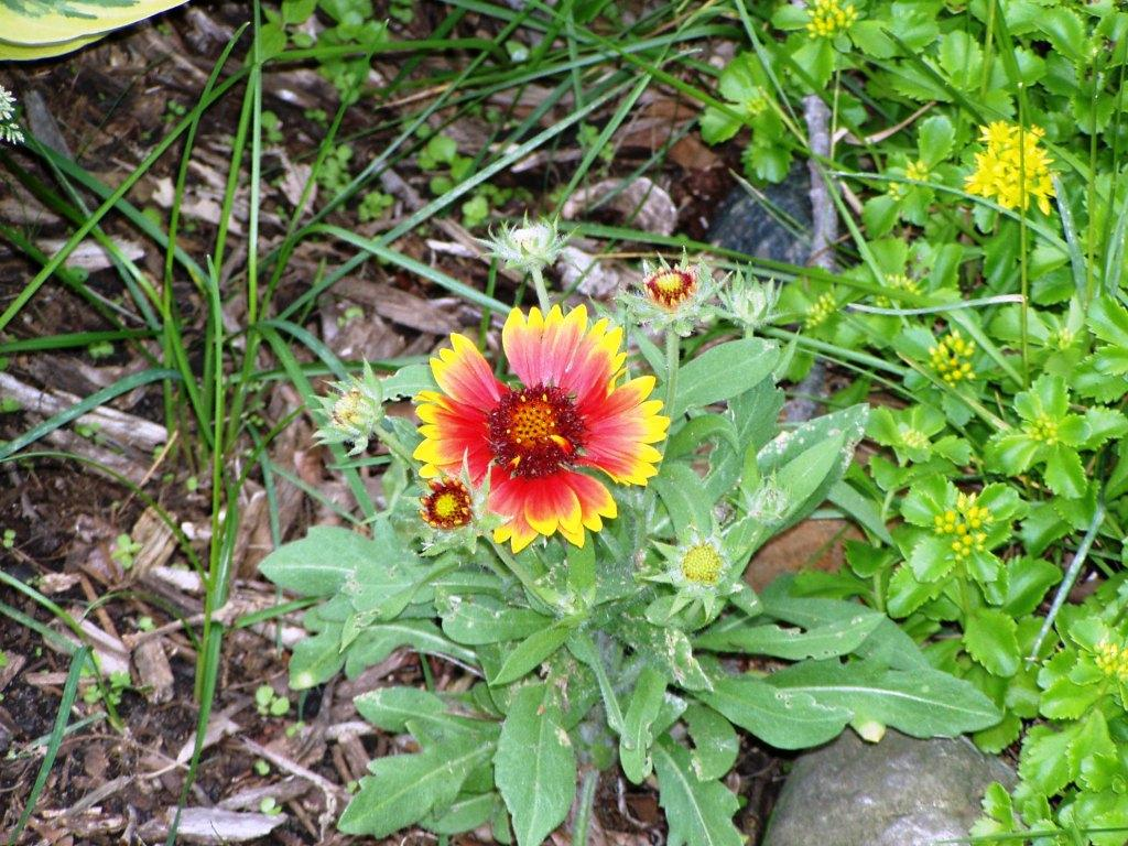 Gaillardia Welcome To Fgmarket Buzz