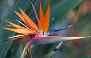 Gorgeous Bird Of Paradise