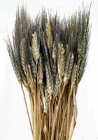 Black Bearded Wheat