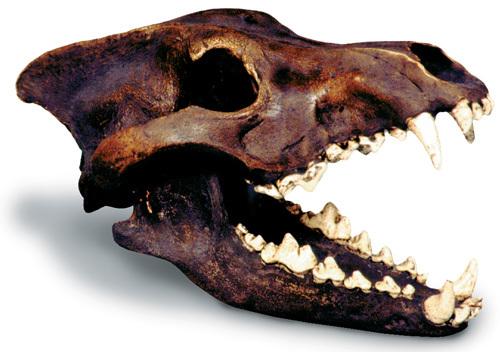 Dire Wolf Skull