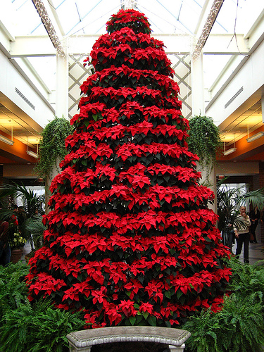 Live Poinsettia Display